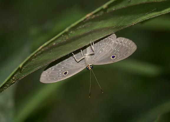 Eurybiamolochina(Riodinidae) escondiéndose debajo de una hoja en la selva peruana