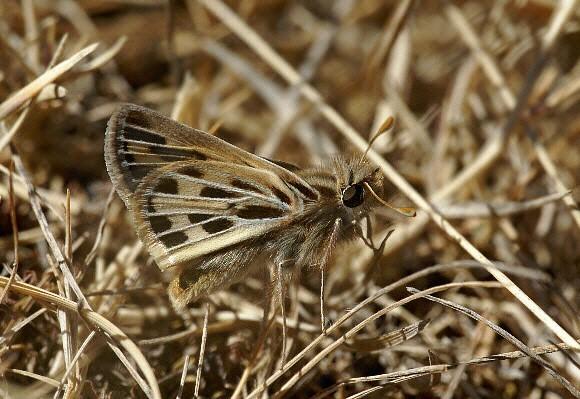 Hylephila peruana