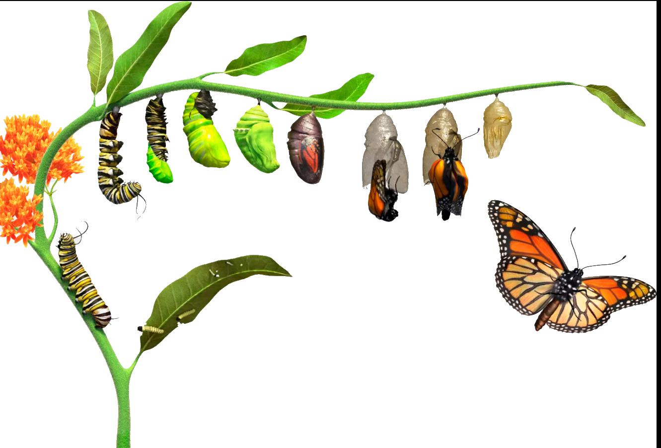 Ciclo de Vida de las Mariposas