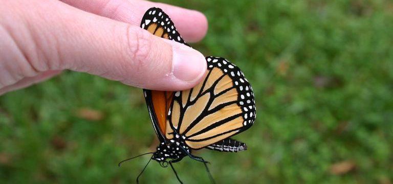 Cómo agarrar una mariposa sin dañar sus Alas