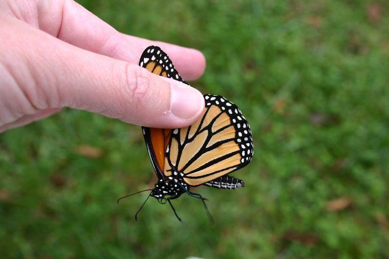Como agarrar una mariposa sin dañarla