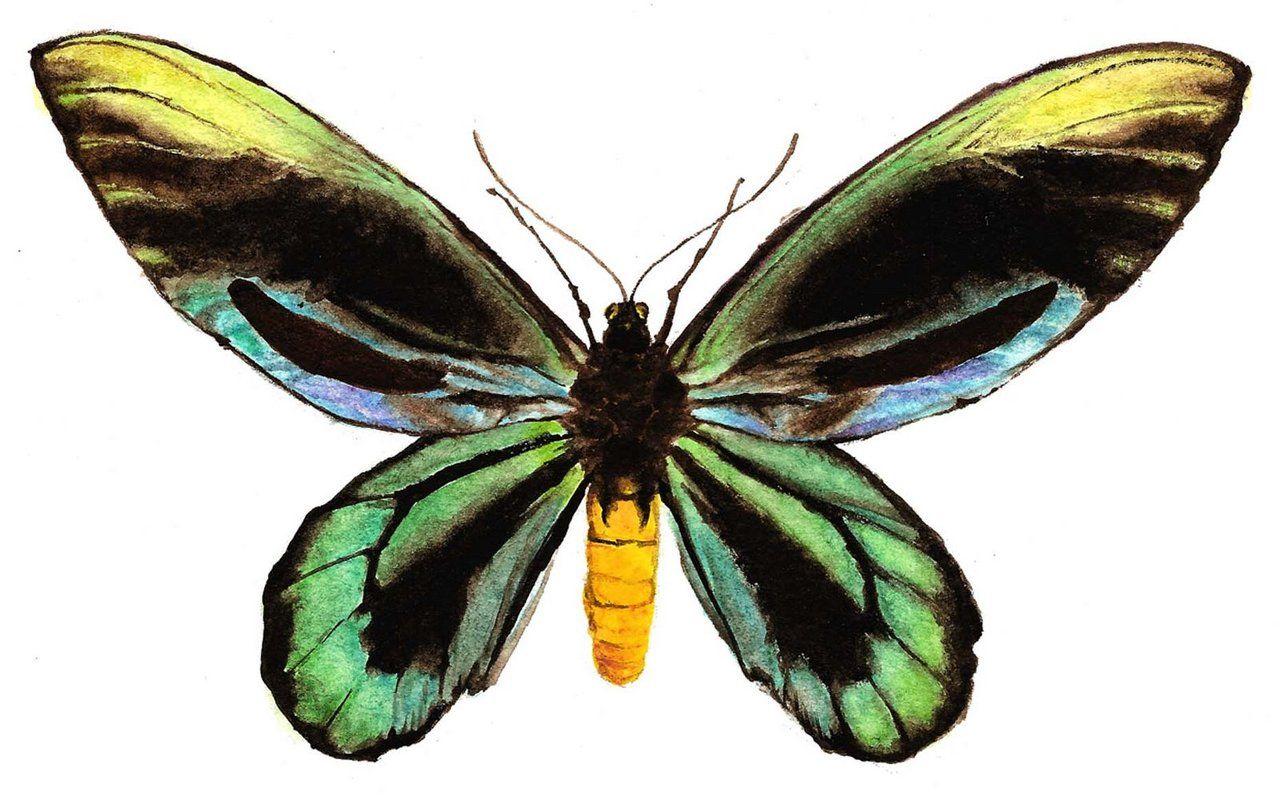 Mariposa alas de pájaro