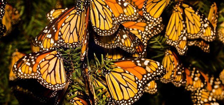 Por qué la Mariposa Monarca tiene Alas arrugadas?