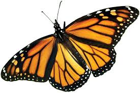 Monarca la mariposa brujula