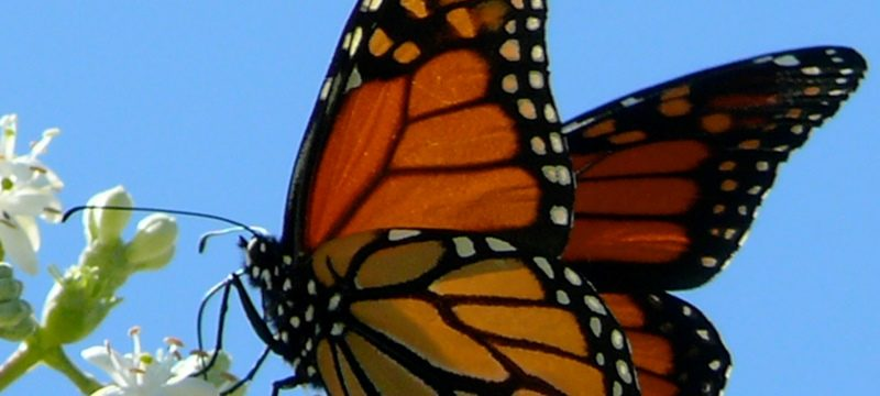 La Mariposa Monarca, una brújula animal