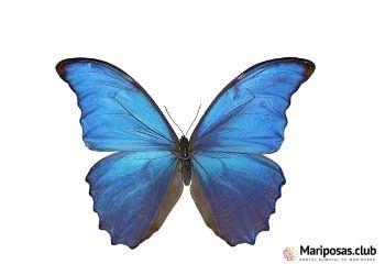 Mariposa azul de karner