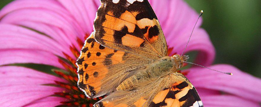 Las 10 mariposas más impresionantes del Mundo (2018)