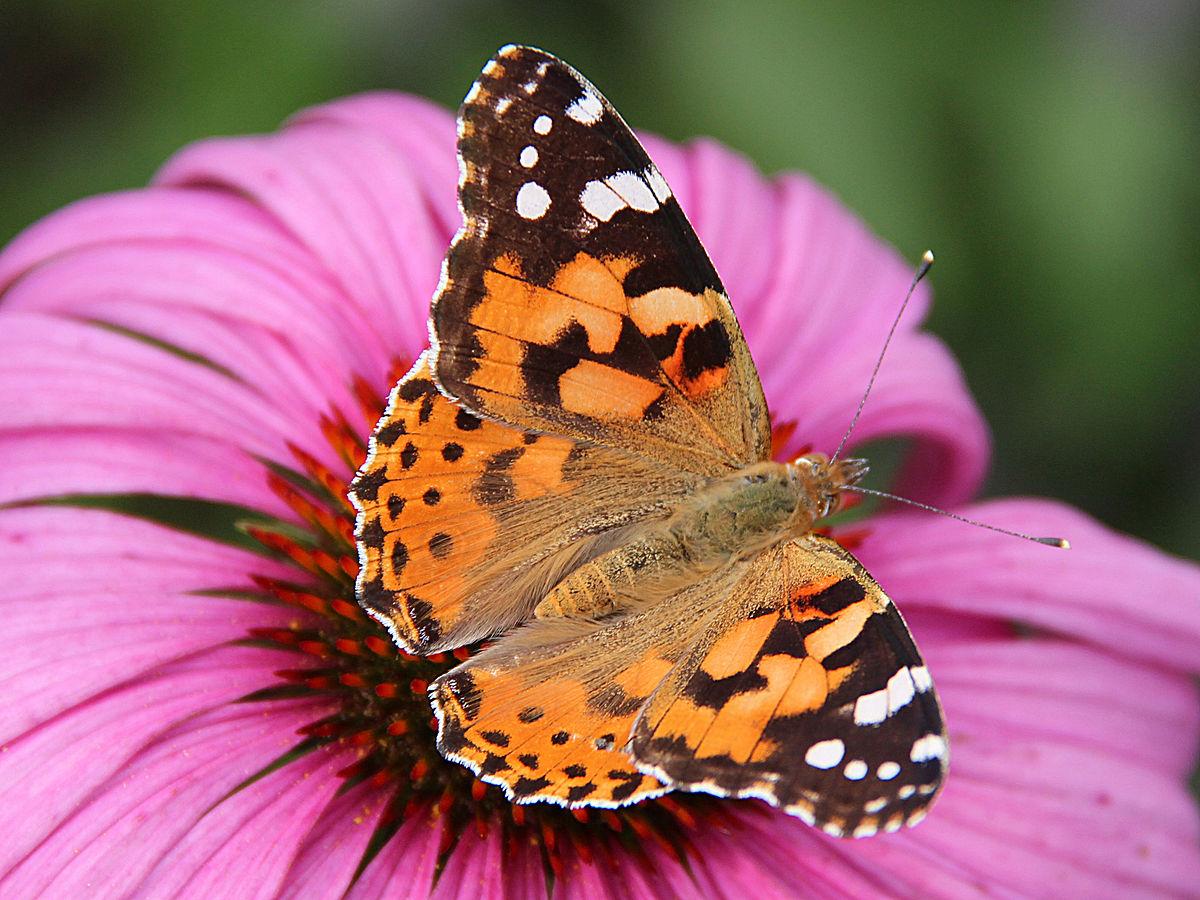 Mariposa Vannesa