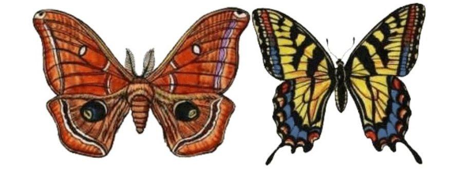 9 Diferencias entre una Mariposa y una Polilla