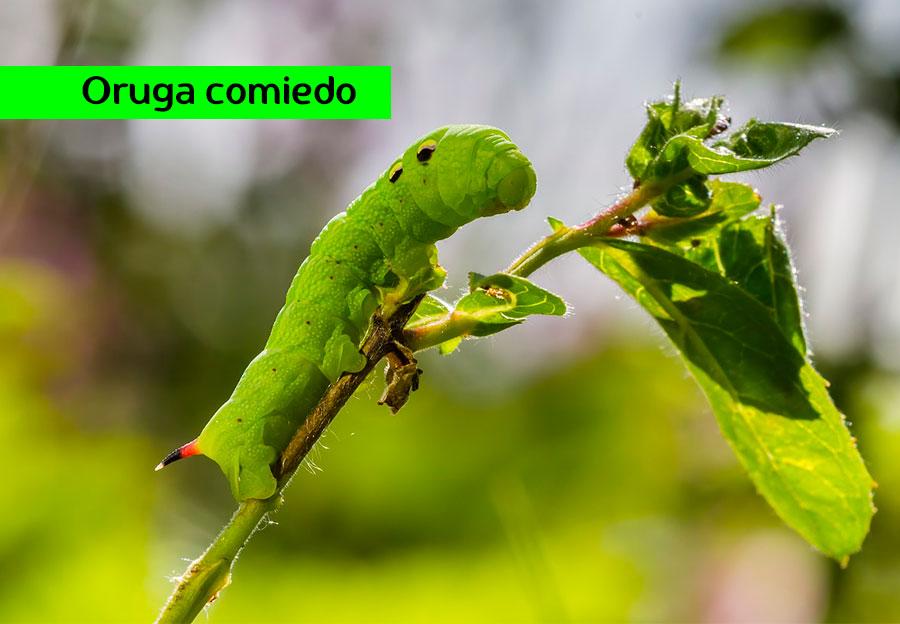 Oruga de Mariposa Comiendo Plantas