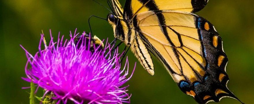 Principales fuentes de comida de las Mariposas