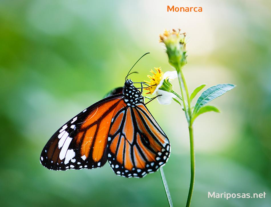 Bella Mariposa Monarca