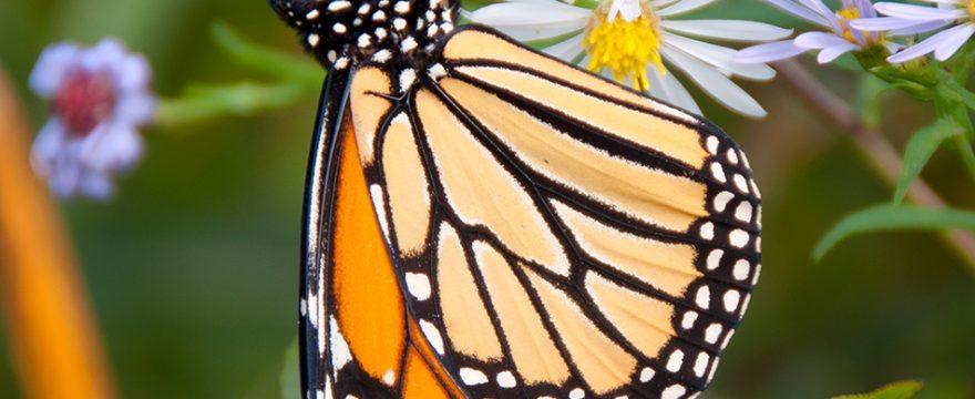 24 Datos maravillosos sobre las mariposas