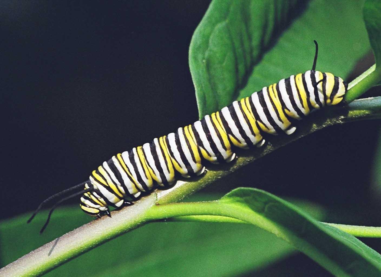 Oruga de Mariposas Monarcas