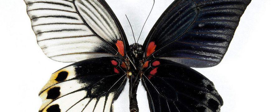 Cómo trabajan las mariposas