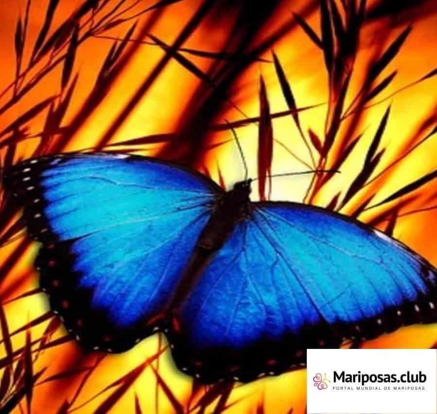 Alas de Mariposa Azul