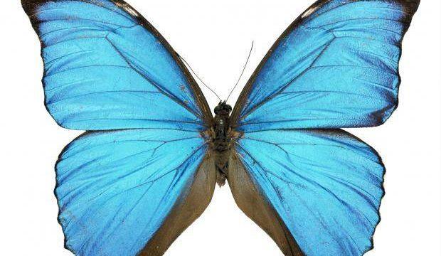 Alas de Mariposas: la anatomía perfecta