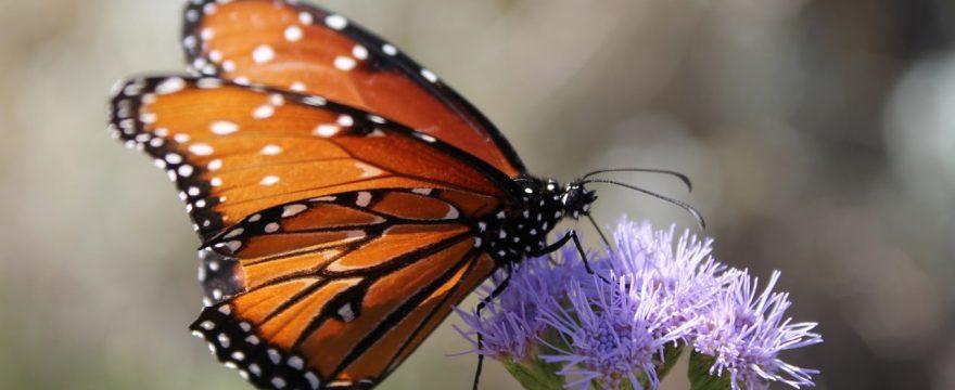 Apareamiento de las Mariposas: Todo lo que debes saber