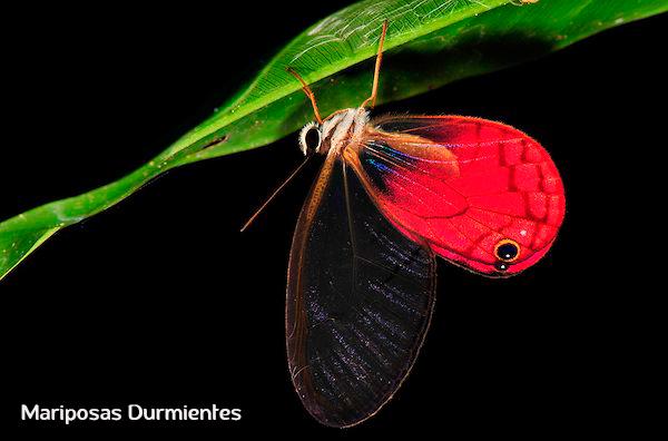 Mariposa Durmiente