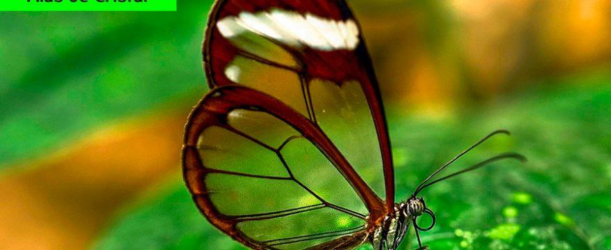 Las Mariposas Alas de Cristal