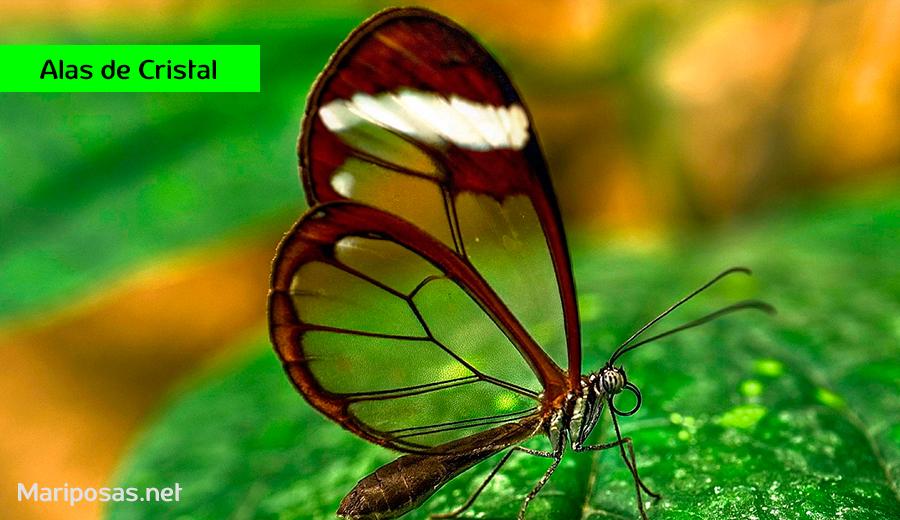mariposas alas de cristal