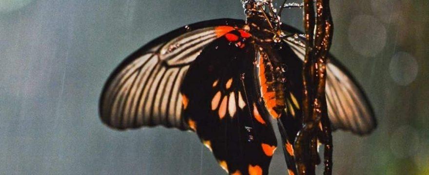 ¿Qué hacen las mariposas cuando llueve?