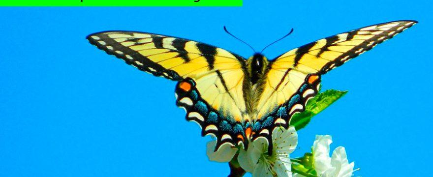 Cuáles son las Mariposas que causan alergia?