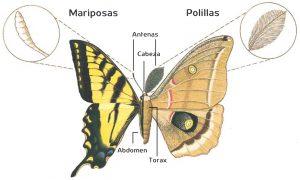 Diferencia entre Mariposas y Polillas