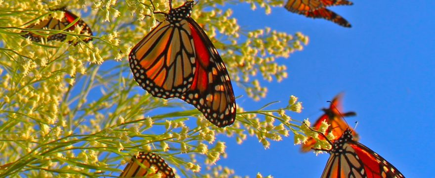 Las Mariposas Migran? A dónde van las Mariposas?