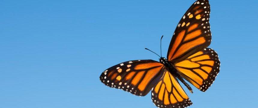 Mariposa monarca en Canadá