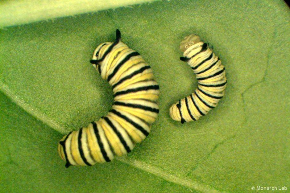 Larva de Mariposa Monarca, segundo Estadio
