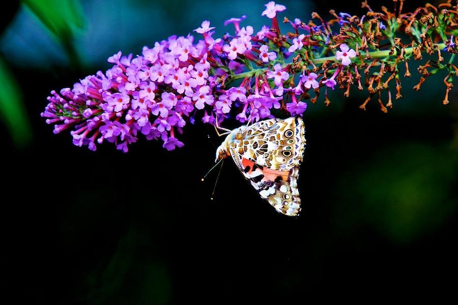 14 bellas mariposas