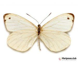 Pieridae Argentina Mariposas