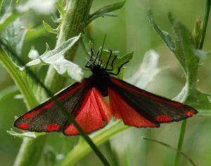 Mariposa Gota de Sangre