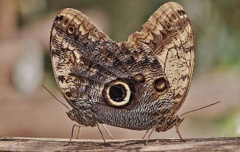 mariposas búhos argentinas
