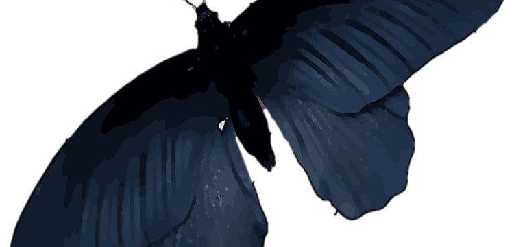 Mariposas negras: mitos y verdades