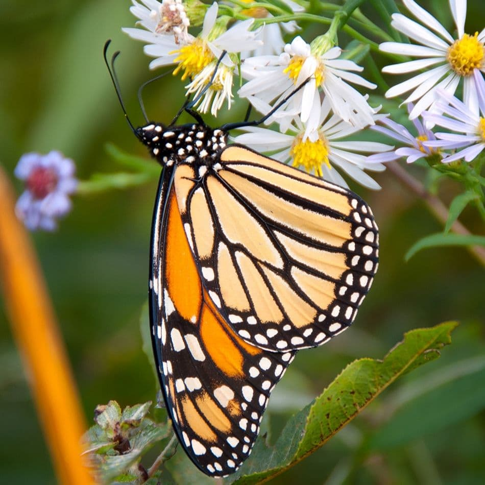 Mariposa Monarca Adulta