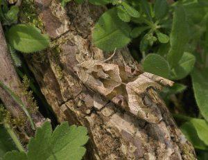Angulo Shades polilla Phlogophora meticulosa