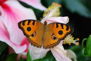 Mariposa ojo de alcon