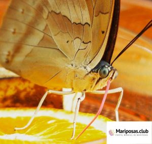 Qué Comen las Mariposas