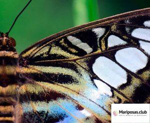 Anatomia de las alas de las mariposas
