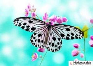 dombolismo de las mariposas